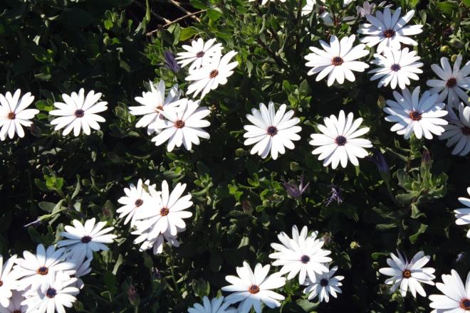 bondi_flowers